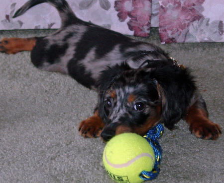 Abbey the Dachshund Pictures 673890