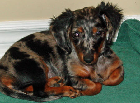 Abbey the Dachshund Pictures 612130