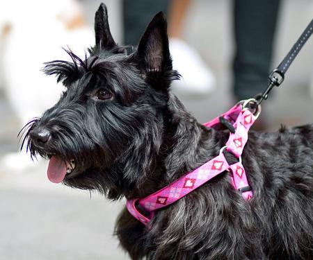 Abbey the Scottish Terrier Pictures 715023