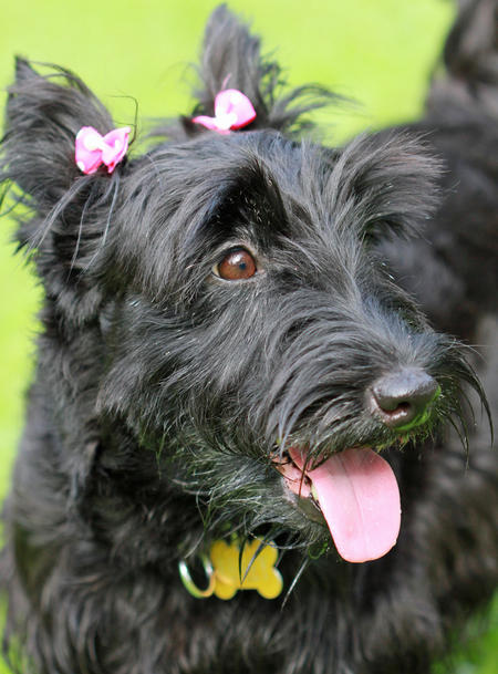 Abbey the Scottish Terrier Pictures 715027