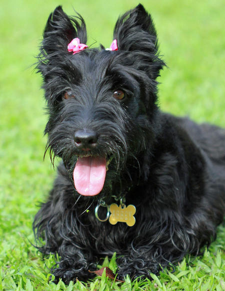 Abbey the Scottish Terrier Pictures 715028