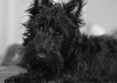 Abby the Scottish Terrier Pictures 1027339