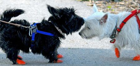 Abby the Scottish Terrier Pictures 1027340