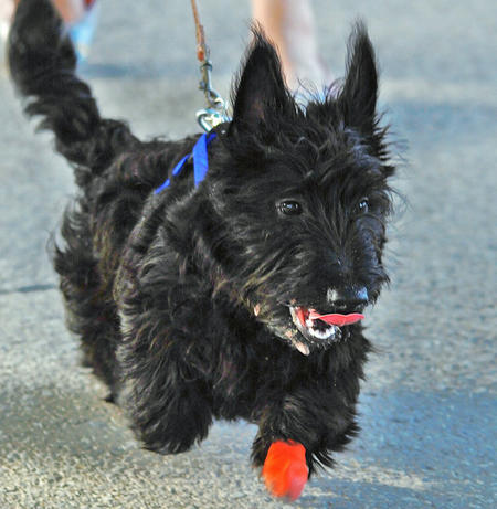 Abby the Scottish Terrier Pictures 1027341