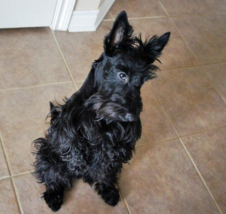 Abby the Scottish Terrier Pictures 1027342