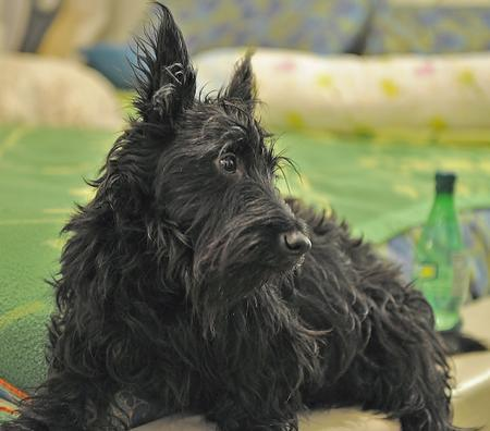 Abby the Scottish Terrier Pictures 1027343