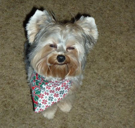 Abby the Yorkshire Terrier Pictures 1011220