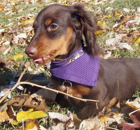 Abe the Dachshund Pictures 740817
