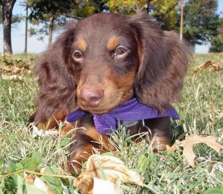 Abe the Dachshund Pictures 740819