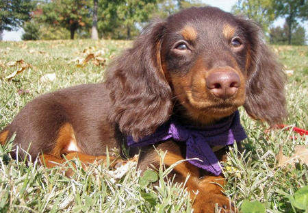 Abe the Dachshund Pictures 740820