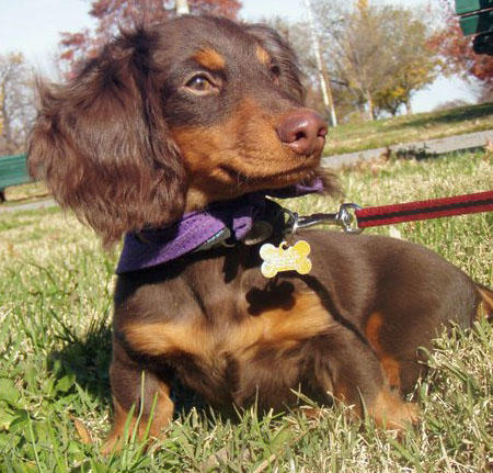 Abe the Dachshund Pictures 740816