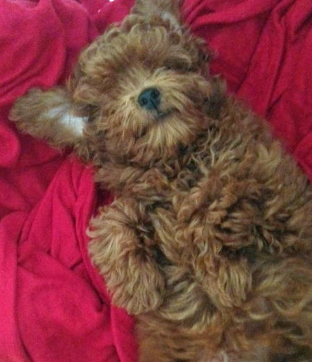 Abu the Toy Poodle Pictures 987143