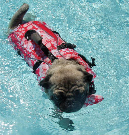 Acacia the Pug Pictures 961958