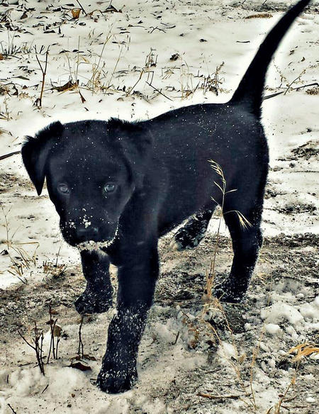 Ace the Labrador Mix Pictures 1041483
