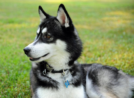 Ace the Siberian Husky Pictures 820709