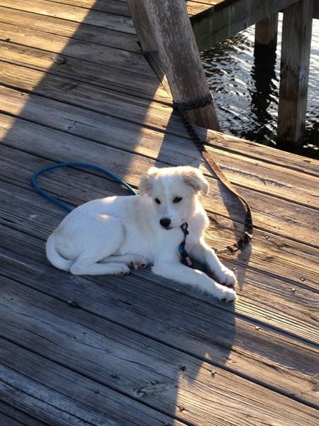 Addie the American Eskimo Mix Pictures 964139