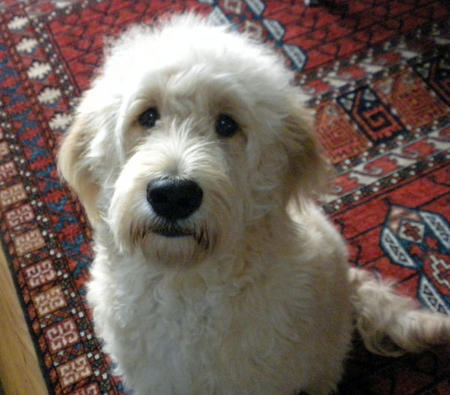 Addie the Goldendoodle Pictures 1024335