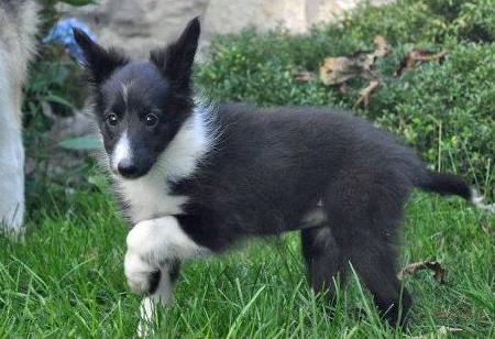 Addie the Shetland Sheepdog Pictures 836207