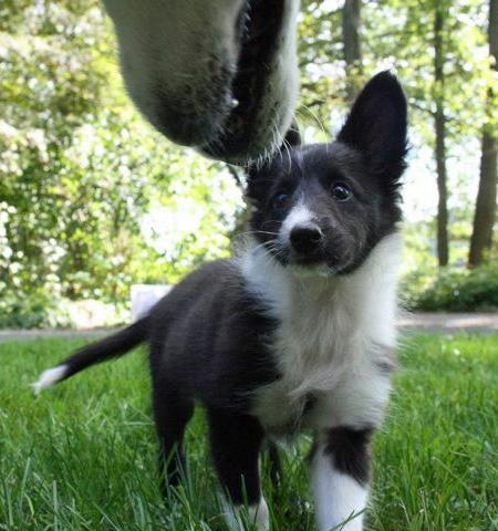 Addie the Shetland Sheepdog Pictures 836209