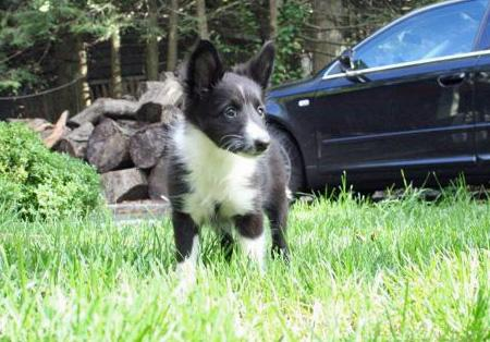 Addie the Shetland Sheepdog Pictures 836210