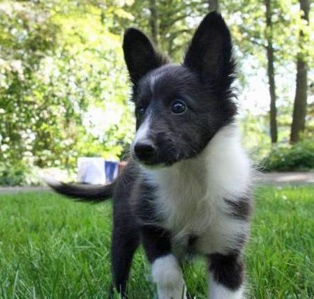 Addie the Shetland Sheepdog Pictures 836212