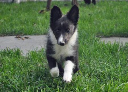 Addie the Shetland Sheepdog Pictures 836206