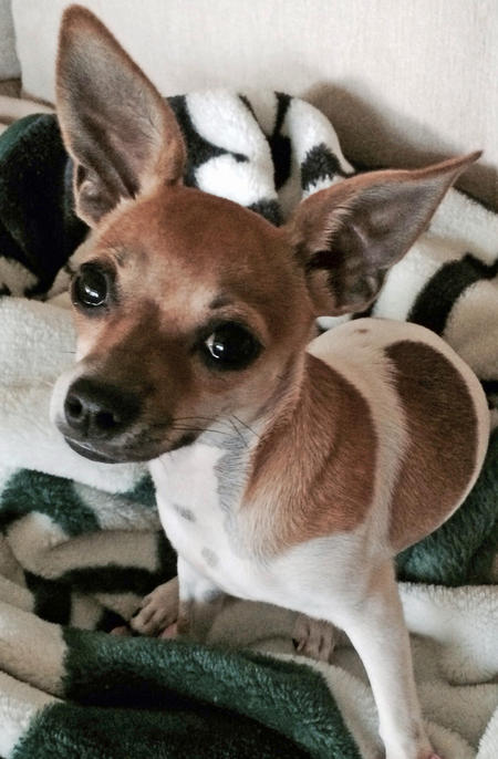 Addy the Chihuahua Mix Pictures 1029461