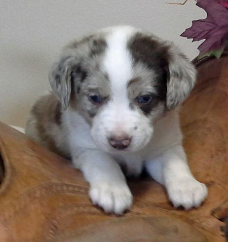 Adelaide the Australian Shepherd Pictures 1001615