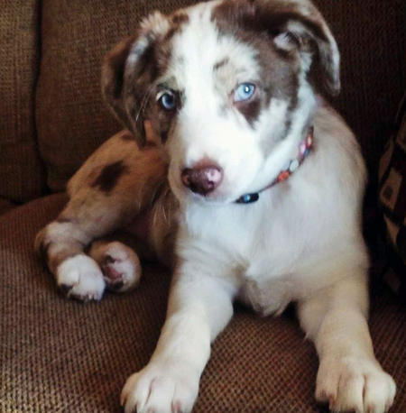 Adelaide the Australian Shepherd Pictures 1001617