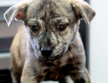 Adoptable Border Collie Mix Puppies Pictures 812692