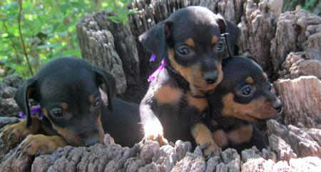 Adoptable Miniature Pinscher Puppies Pictures 807439
