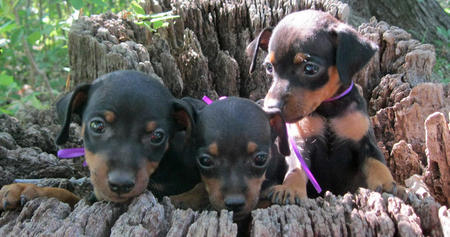 Adoptable Miniature Pinscher Puppies Pictures 807440