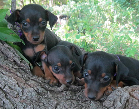 Adoptable Miniature Pinscher Puppies Pictures 807442