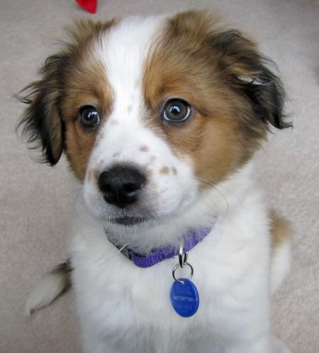 Adrian the Saint Bernard Mix | Puppies | Daily Puppy