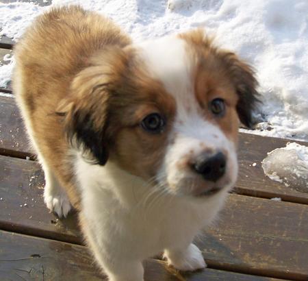 Adrian the Saint Bernard Mix | Puppies | Daily Puppy
