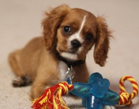 Aiden the Cavalier King Charles Spaniel Pictures 479350