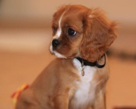 Aiden the Cavalier King Charles Spaniel Pictures 479352