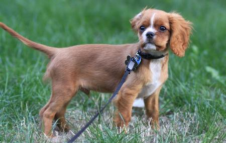 Aiden the Cavalier King Charles Spaniel Pictures 479355