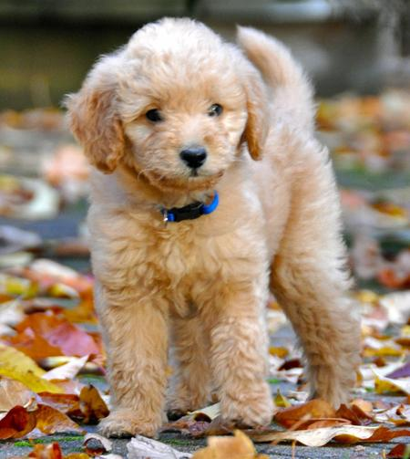 Ajax the Labradoodle Pictures 683683