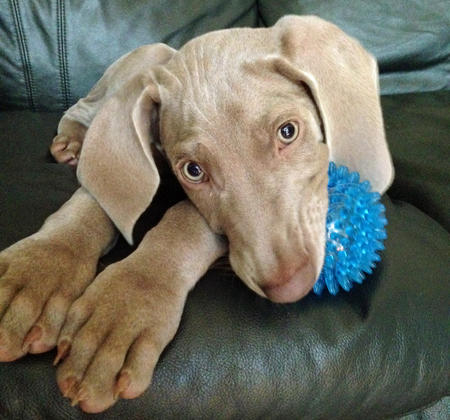 Ajax the Weimaraner Pictures 1036460