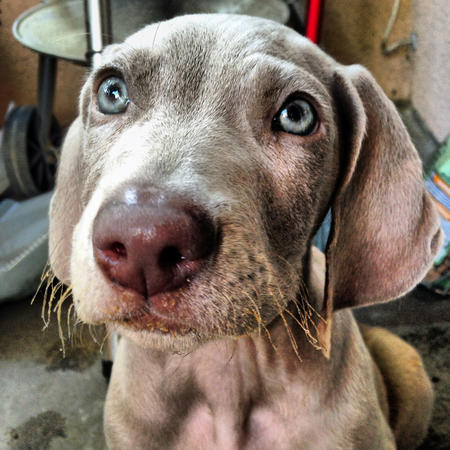 Ajax the Weimaraner Pictures 1036461