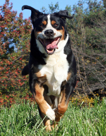 Albert the Greater Swiss Mountain Dog Pictures 467259