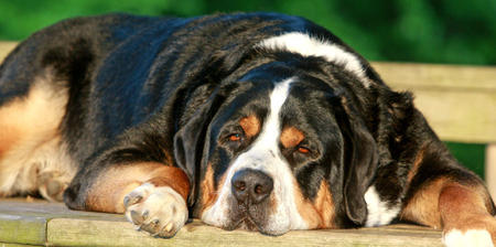 Albert the Greater Swiss Mountain Dog Pictures 467261