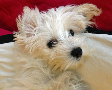 Albie the Maltese Mix Pictures 991601