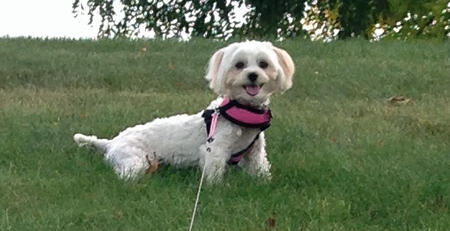 Albie the Maltese Mix Pictures 991604