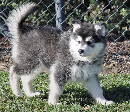 Alera the Finnish Lapphund Pictures 624687