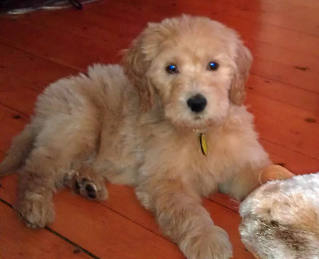 Alf the Goldendoodle Pictures 995023