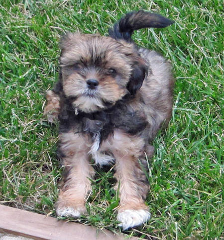 Alice the Yorkie Mix Pictures 808757