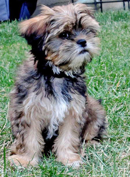 Alice the Yorkie Mix Pictures 808759