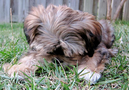 Alice the Yorkie Mix Pictures 808760